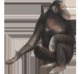 Image Chimpanzé