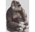 Image Gorille